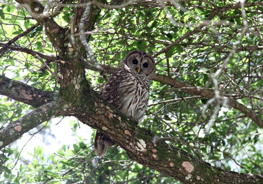 barred_owl_5